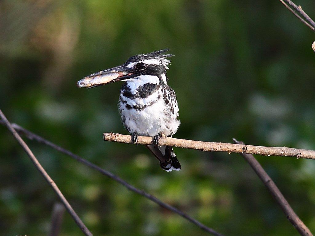 Philippines bird checklist  Avibase  Bird Checklists of